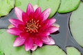 Pink Water Lily Stock Image - 6821881