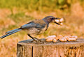 Scrub Jay With Peanuts Royalty Free Stock Image - 6829866