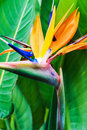 Strelitzia Reginae Flower Closeup Stock Photos - 68243293