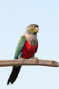 Parrot Royalty Free Stock Image - 68279806