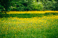 Spring Yellow Flowers Dandelions Meadow Royalty Free Stock Images - 68307699