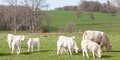 Group Of Young Charolais Calves Grazing In Late Evening Light Royalty Free Stock Photography - 68344037