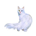 Watercolor Portrait Of Turkish Angora Cat With Odd Eyes  On White Background. Hand Drawn Sweet Home Pet Royalty Free Stock Photos - 68350838