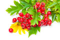 Hawthorn Berries And Yellow Flowers Royalty Free Stock Images - 68352869
