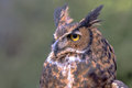 Great Horned Owl Looking To The Left Royalty Free Stock Image - 68353796