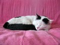 Black And White Cat Sleeping Stock Images - 68380404