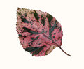 Natural Red Color Leaf Isolated On White Background Stock Photography - 68387672