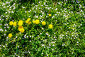 Field With Yellow Dandelions Closeup Stock Photo - 68445770