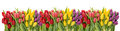 Fresh Spring Tulips Water Drops. Flower Border Stock Photo - 68457950