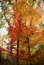 Fall Forest Trees Royalty Free Stock Photos - 6857208