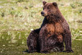 Alaska Huge Brown Grizzly Bear Sitting Stock Photo - 68552780
