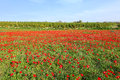 Red Blooming Meadow Landscape Stock Photography - 68562282