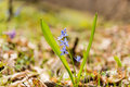 Unblown Wild Growing Squill (Scilla Bifolia), Blue Early Spring Stock Images - 68563494