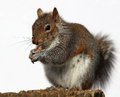 Grey Squirrel Eating Peanuts Royalty Free Stock Photography - 68563627