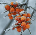 Frozen Berries Of Sea-buckthorn Stock Photo - 68586700