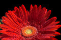 Red Gerber Flower Stock Photography - 6867182