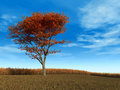 Red Maple Tree Stock Images - 6867704