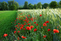 Red Poppies Royalty Free Stock Image - 6868906