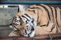 Tiger Sleeping In Kingdom Royalty Free Stock Images - 68602289