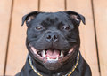 Smile On A Happy Staffordshire Bull Terrier Dog Stock Images - 68647774