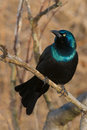 Common Grackle Royalty Free Stock Image - 68651696