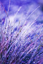 Frosted Grass Royalty Free Stock Photo - 6873955