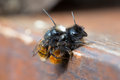 Mating Solitary Bees Stock Photos - 68708093