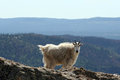 Mountain Goat On Harney Peak Overlooking The Black Hills Of South Dakota USA Royalty Free Stock Photo - 68714785