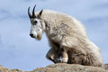 Mountain Goat Getting Up From Resting On Top Of Harney Peak Overlooking The Black Hills Of South Dakota USA Royalty Free Stock Photography - 68714847