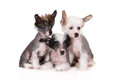 Three Chinese Crested Puppies On White Royalty Free Stock Photography - 68730917