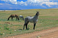 Wild Horse Mustang Gray Grulla Roan Stud Stallion In The Pryor Mountains In Wyoming / Montana Royalty Free Stock Image - 68736926
