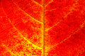 Red Leaf Texture Background Royalty Free Stock Photo - 68771855