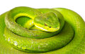 Green Pit Viper Royalty Free Stock Photography - 68794427