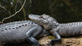 Alligators Resting, Big Cypress National Preserve, Florida Royalty Free Stock Images - 68820539