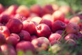 Red Apples Stock Photography - 68895382