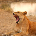 Lioness In Sabi Sands Stock Images - 6895074