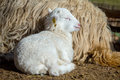 Sheep With Lamb On Rural Farm Stock Images - 68937144