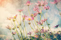 Cosmos Flower And Sunlight. Royalty Free Stock Photography - 68938337