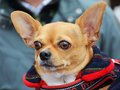 Cute Chihuahua, Portrait Stock Images - 68950324