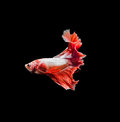 Capture The Moving Moment Of Red Siamese Fighting Fish , Betta Royalty Free Stock Image - 68953076