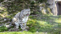 Snow Leopard Royalty Free Stock Image - 68984946