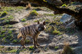 Sriped Hyena Royalty Free Stock Photo - 68993115