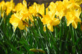 Daffodils Royalty Free Stock Image - 691106