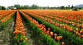 Rows Of Tulips Royalty Free Stock Photos - 694898