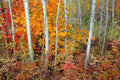 Aspen Grove And Maples In Autumn Royalty Free Stock Photo - 6906815