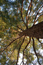 Very Old Pine Tree Stock Images - 6909054