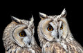 Two Boreal Owls Stock Image - 69034851