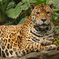 A Photo Of A Male Jaguar Royalty Free Stock Photo - 6913575