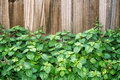 Patchouli Plant In Front Of Brown Fence Royalty Free Stock Image - 69116996