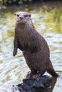 River Otter Royalty Free Stock Images - 69135509